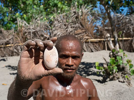Savo Islander with megapode egg dug out of nest chamber of Melanesian Megapode Megapodius eremita at nesting ground to harves...