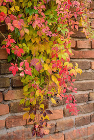Autumnal ivy on a red brick wall in Italy.
