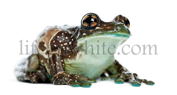 Amazon Milk Frog, Trachycephalus resinifictrix, against white background
