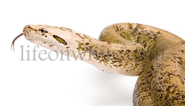 Burmese Python - Py... molurus bivittatus  - granite phase (10 years old)