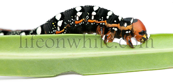 Spurge Hawk, Hyles Euphorbiae, caterpillar eating on leaf against white background