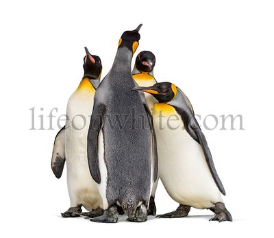 Group of King penguin standing together, isolated on white