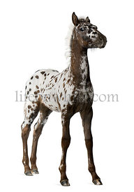 Crossbreed Foal between a Appaloosa and a Friesian horse, 3 months old, standing in front of white background