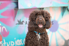 close up of large dark brown doodle in front of colorful mural