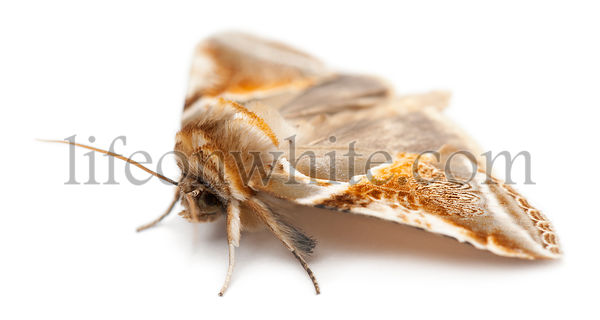 Buff Arches, Habrosyne pyritoides, a moth against white background