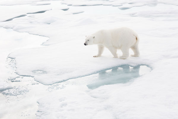 Polar Bear Walking On Ice II