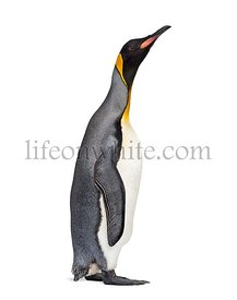 Side view of a King penguin isolated on white