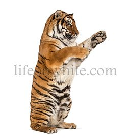 Tiger on hind legs, pawing, isolated on white