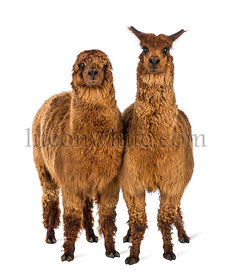 Two Alpacas looking at camera against white background