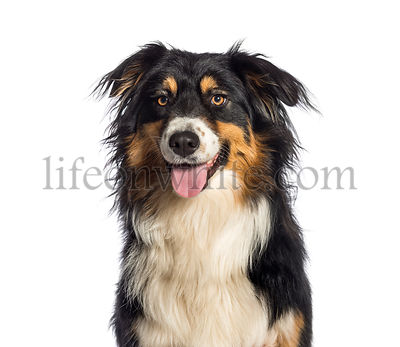 Australian Shepherd, 1 year old, in front of white background