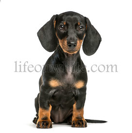 Dachshund, 2 months old, sitting in front of white background