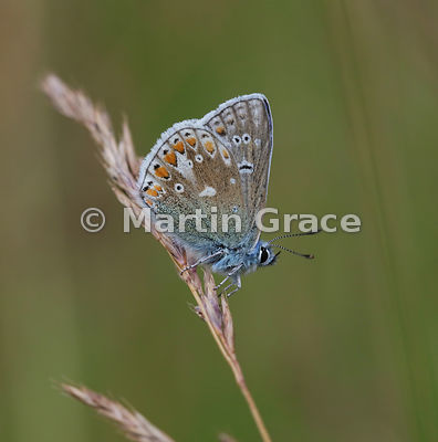Under side of Common Blue butterfly (Polyommatus icarus) on grass, Tromie Meadow, Badenoch & Strathspey, Scottish Highlands