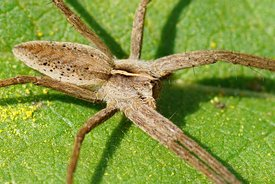 Closeup on a sunbathing Nursery web spider, Pisaura mirabilis on a green leaf