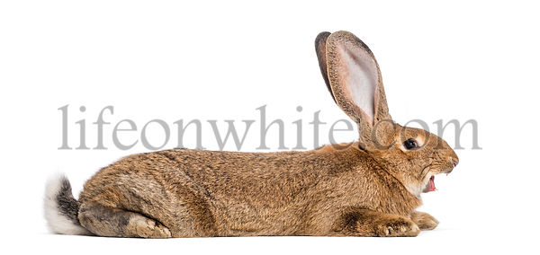 Flemish Giant rabbit yawning, 6 months old, lying in front of white background