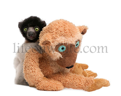young Crowned Sifaka with his teddy bear  - Propithecus coronatu (3 months)