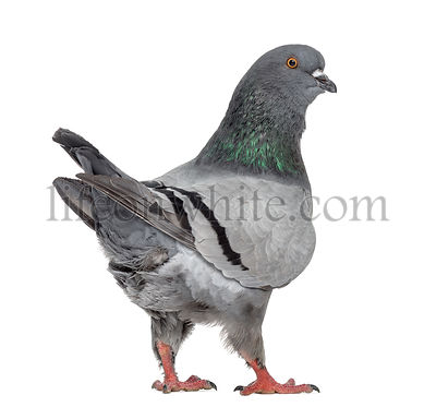 Black King Pigeon isolated on white