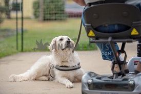 golden retriever looking up at man in wheelchair