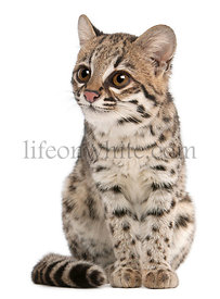 Oncilla, Leopardus tigrinus, 1 year old, in front of white background