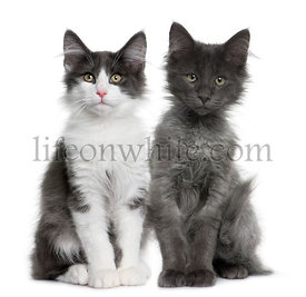 two Norwegian Forest Cat kitten (4 months old)