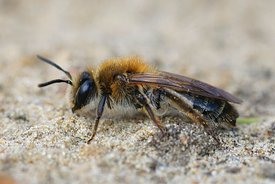 Lateral closeup of a female Mellow Miner , Andrena mitis on sandy soil