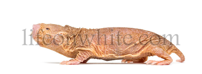 Side view of a Naked Mole-rat, hairless rat, isolated on wihte