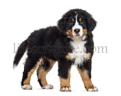 Bernese Mountain Dog, 3 months old, in front of white background