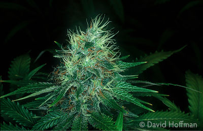 4.21/141 A flowering head of a female marijuana (cannabis sativa) plant.