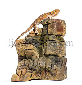 Bearded Dragon, Pogona vitticeps, on rocks in front of white background