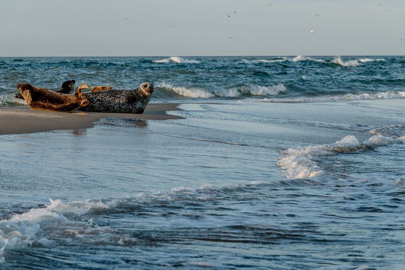 Seals in Skagen, Denmark 9