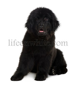 Newfoundland puppy, 4 Months old, sitting in front of white background