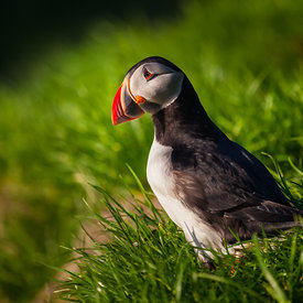 Icelandic_puffin_emm.is