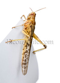 Desert Locust on piece of paper, Schistocerca gregaria, studio shot