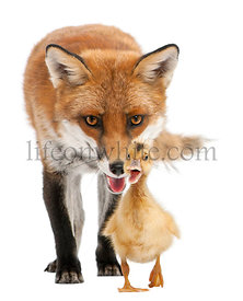 Red Fox, Vulpes vulpes, 4 years old, playing with a domestic duckling in front of white background