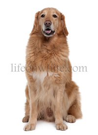 Hovawart dog, 7 years old, sitting in front of white background