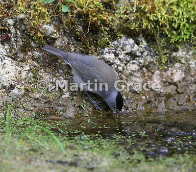 Male Eurasian Blackcap (Sylvia atricapilla) drinks water from the garden pond, Lake District National Park, Cumbria, England