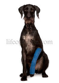Lurcher, 3 years old, with arm cast sitting in front of white background, studio shot