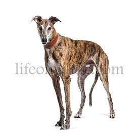 Old greying brown greyhound isolated on white