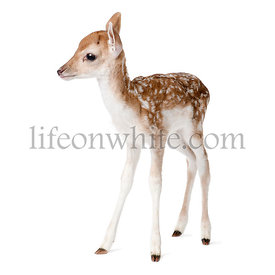 Side view of Fallow Deer Fawn, Dama dama, 5 days old, standing against white background, studio shot
