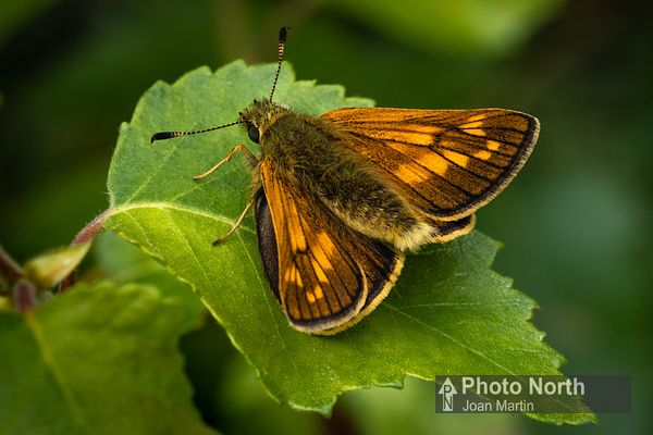 BUTTERFLY 60A - Large skipper