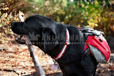A black lab wearing a backpack on a hike carrying a stick