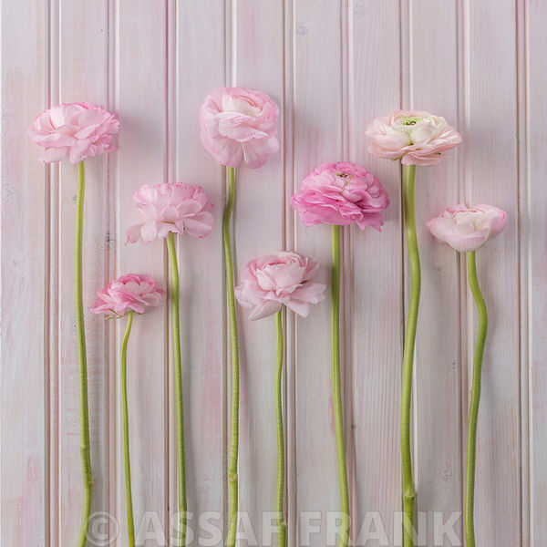Ranunculus in a row