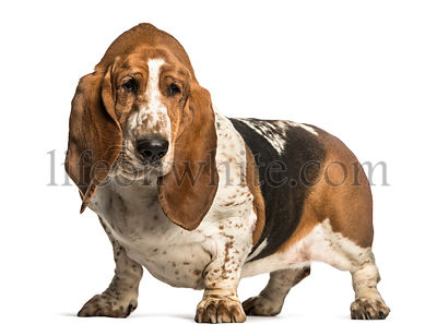 Basset Hound standing against white background
