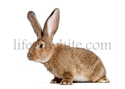 Flemish Giant rabbit, 6 months old, in front of white background