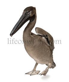 Young pink-backed pelican, 2 months old, standing