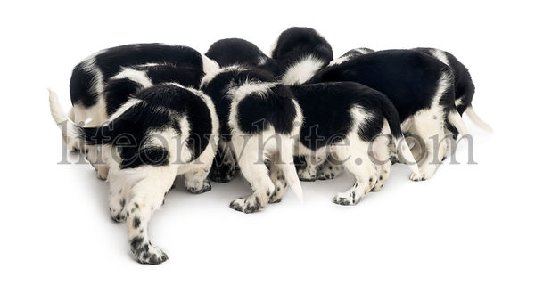 Rear view of a group of Stabyhoun puppies eating, isolated on white