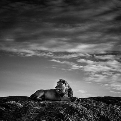 5238-Lion sur son rocher, Tanzania 2007 © Laurent Baheux