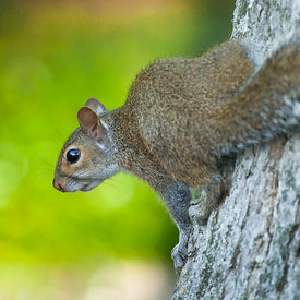Squirrels_in_tree_in_Florida-_emm.is