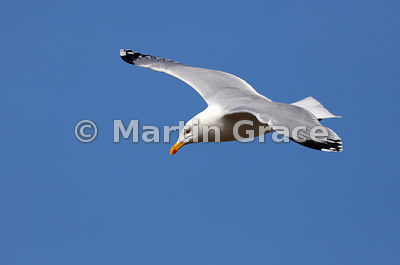 European Herring Gull (Larus argentatus ssp argenteus) in flight, Burghead, Moray, Scotland