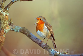 Robin Erithacus rubecula male in song Kent spring