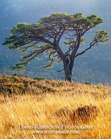 Image - A lone Scots Pine tree in Glen Affric, Inverness, Highland, Scotland